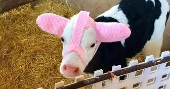 Une agricultrice a inventé des chauffe-oreilles pour les veaux qui viennent de naître, et les photos sont adorables