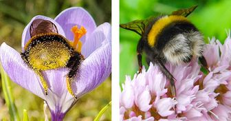 Des bourdons fatigués s'endorment à l'intérieur des fleurs : quelques photos montrant une sieste d'insectes