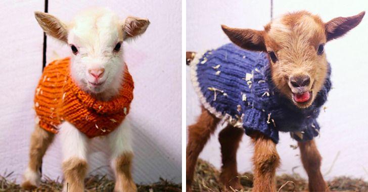 Dans une ferme américaine, on met un chandail aux chevreaux pour éviter qu'ils n'attrapent froid