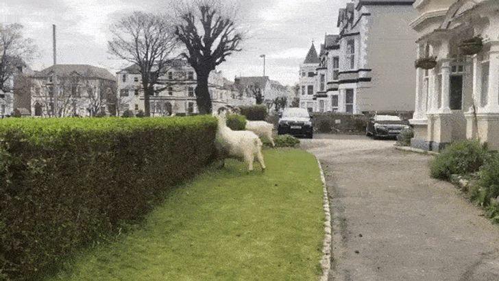 """Des chèvres ont """"envahi"""" un village gallois à la grande surprise de tous ses habitants"""
