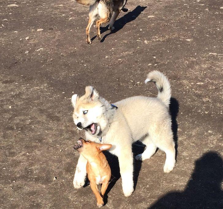 24 Photos qui nous montrent à quel point les Huskies peuvent être de gros nounours complètement fous