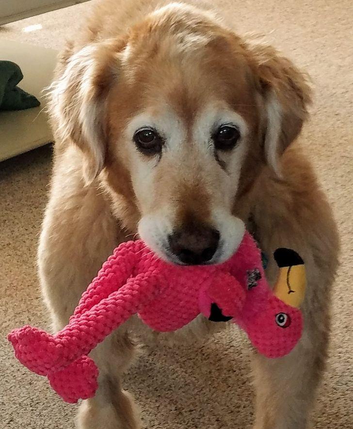 15+ Photos touchantes d'animaux particulièrement attachés à leurs jouets préférés