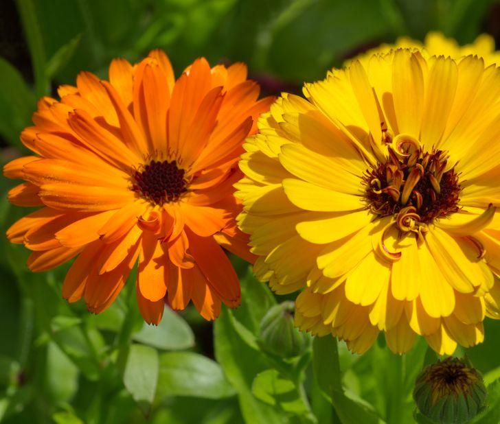 7 Plantes qui éloignent les nuisibles de ton jardin, et 7 autres qui attirent les pollinisateurs