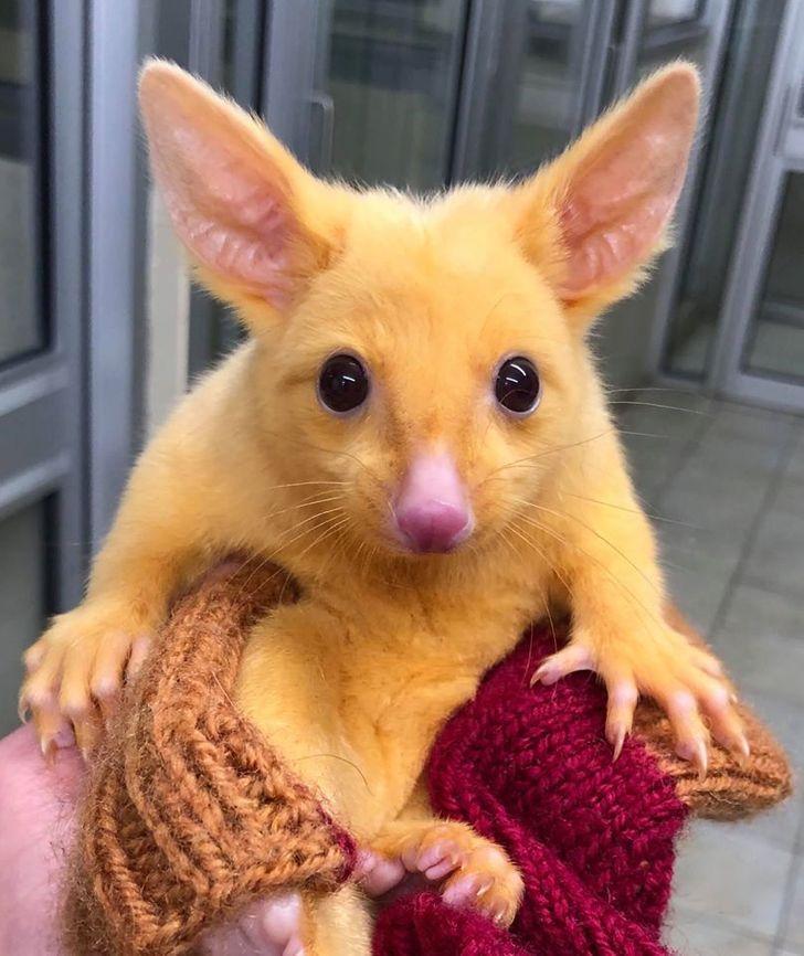 Un vétérinaire a sauvé un opossum doré et nous raconte son histoire